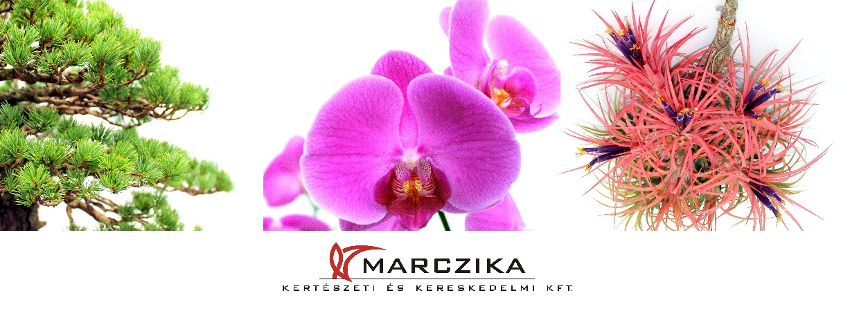 marczika bonsai orchidea tillandsia