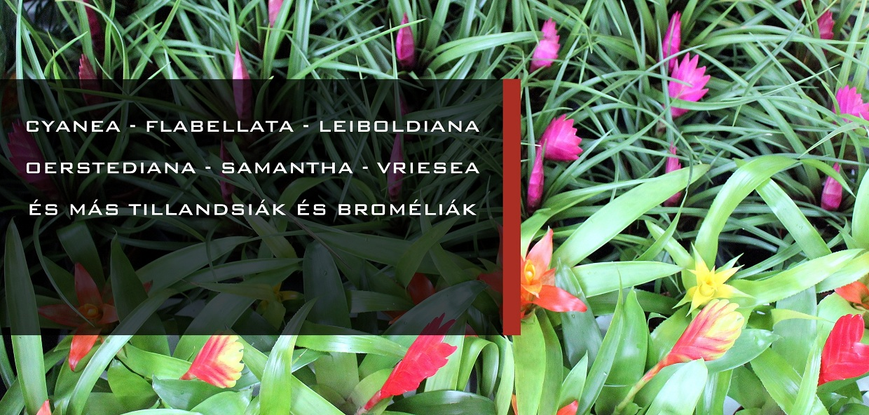 cserepes bromeliak es tillandsiak vasarlasa a marczika kerteszetben